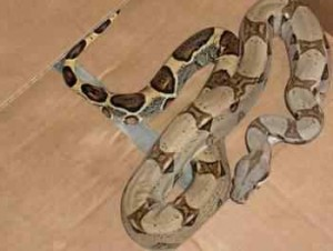 LATE BREAKING NEWS!!  Boa Constrictor Snake Missing!!!